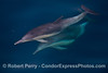 Delphinus capensis 2014 02-22 SB Channel--c-050