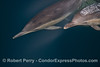 Delphinus capensis 2014 02-22 SB Channel--c-057