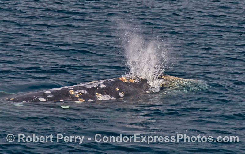 Close look at the twin spouts of a northbound migrating gray whale