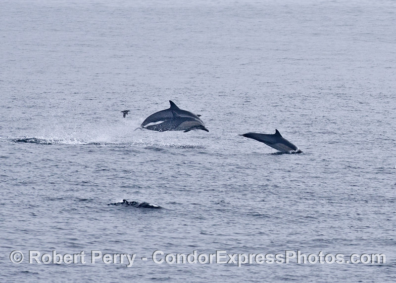 High speed travel involves lots of leaping - Long beaked common dolphins