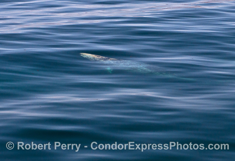 A mighty adult gray whale looks like a miniature in this super wide angle photo taken through crystal blue water.