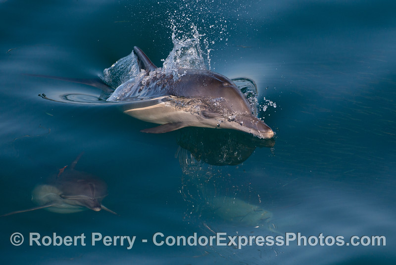 Long beaked common dolphins attack a school of northern anchovies.