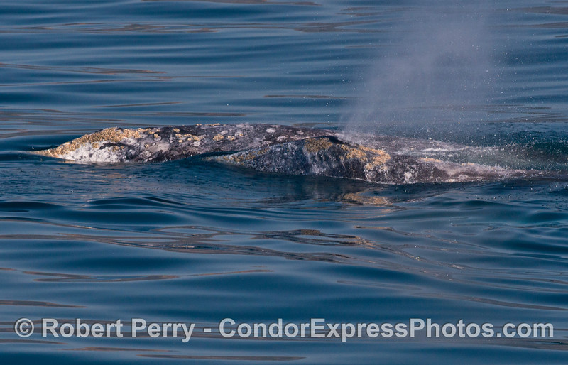 Two gray whales in close contact.
