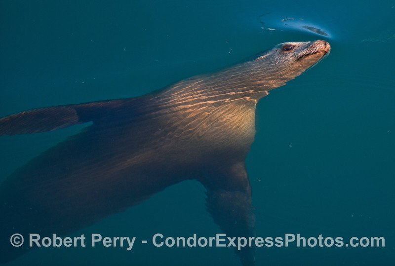 California sea lions are amazing. One is seen here watching the camera from beneath the surface.
