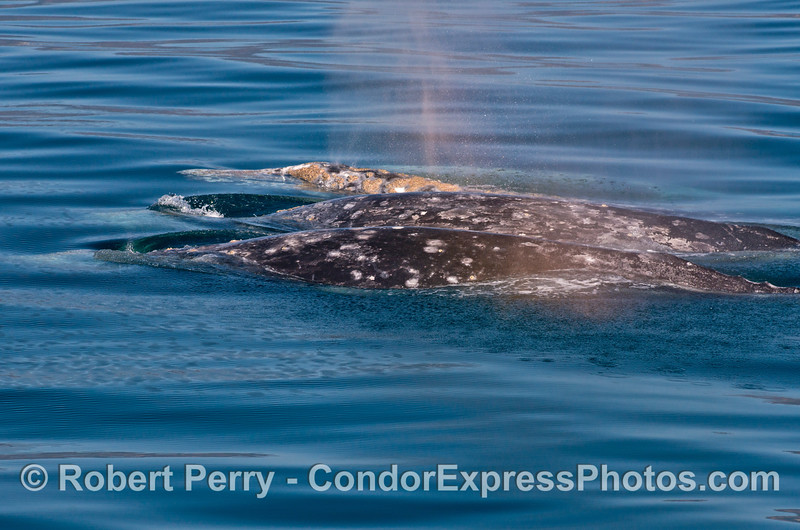 Three gray whales lined up side by side like floating logs.