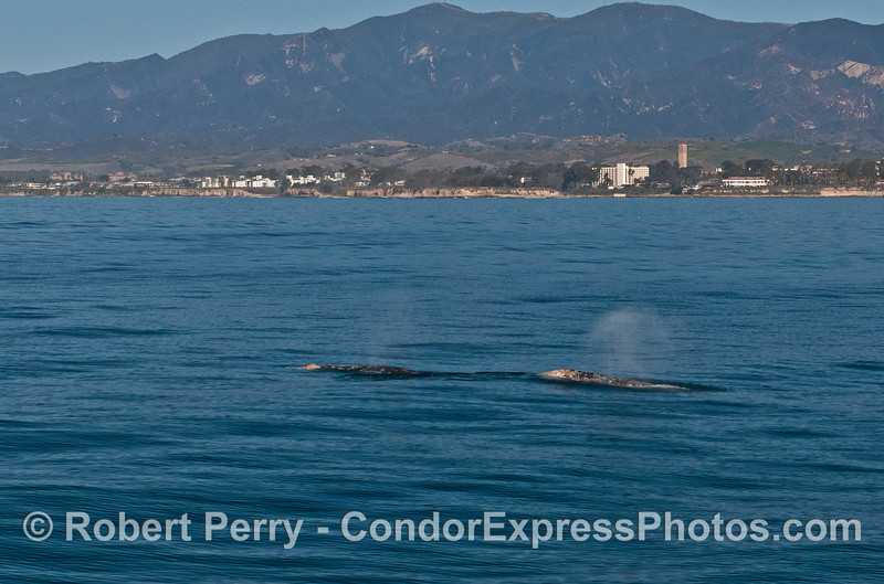 Two northbound gray whales are framed by the UCSB campus on the bluffs.