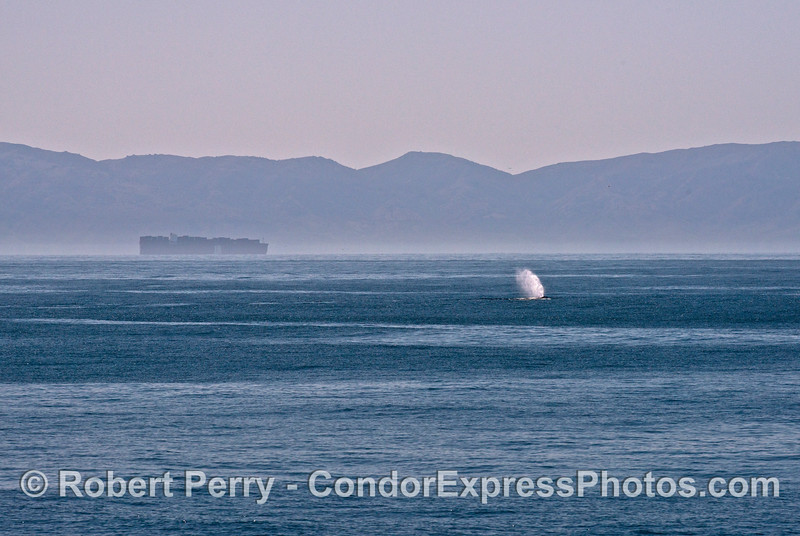 Humpback whale spout, a commercial container vessel and Santa Cruz Island in back.