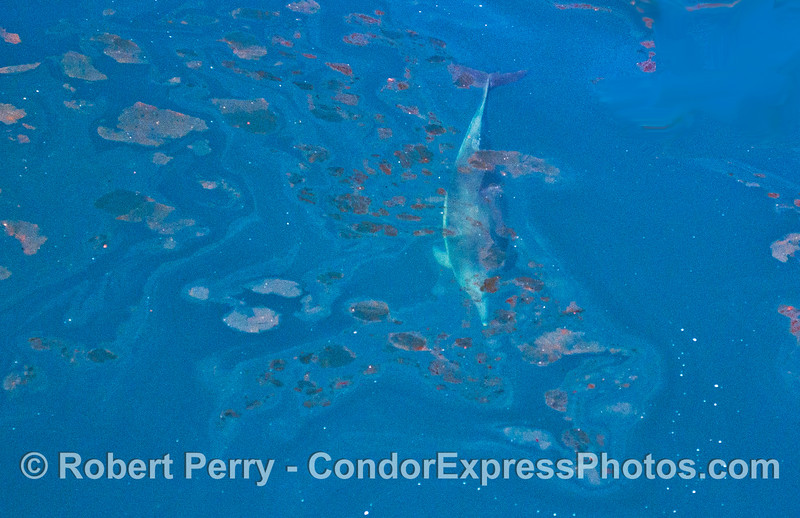 Image 1 of 2:  A long beaked common dolphin swims below surface oil that originated in natural oil and gas seeps on the ocean floor nearby.