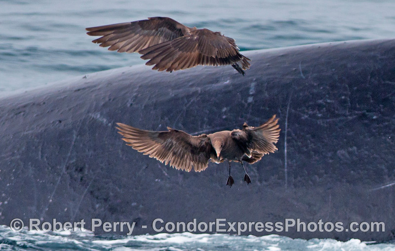 Two Heermann's gulls hover above a bait ball full of anchovies as a giant humpback whale breaks the surface behind them.