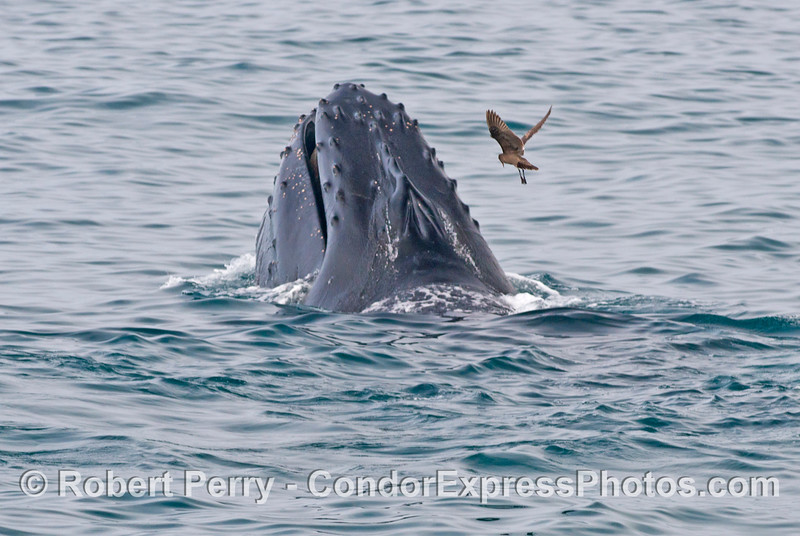 A humgry Heermann's gull searches for leftover anchovies in the aftermath of a surface lunge by a humpback whale.