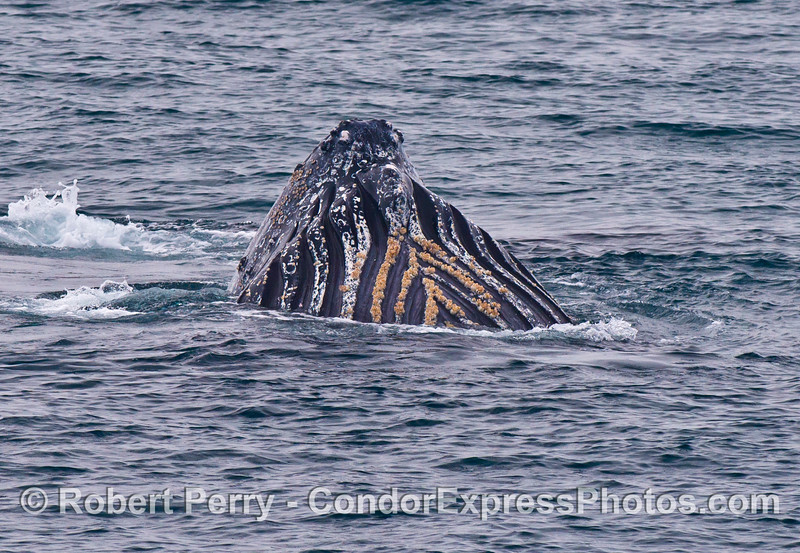 The ventral groove blubber and orange barnacles are seen on the chin of this upside down humpback whale.