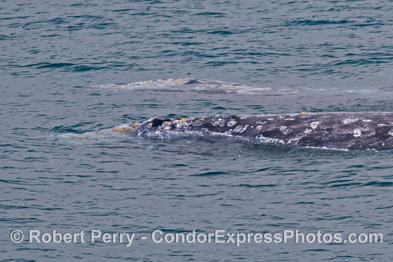 Two gray whales, side by side.