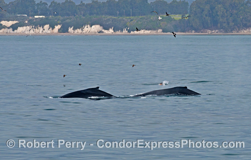 Two humpback whales (and a sea lion) are seen close to the shoreline in western Santa Barbara.