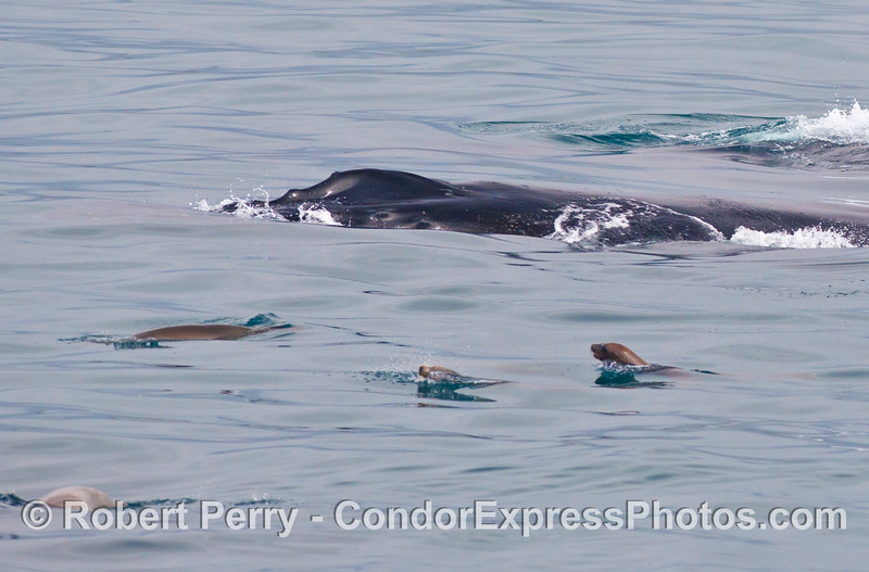 A mob of California sea lions pesters a humpback whale.