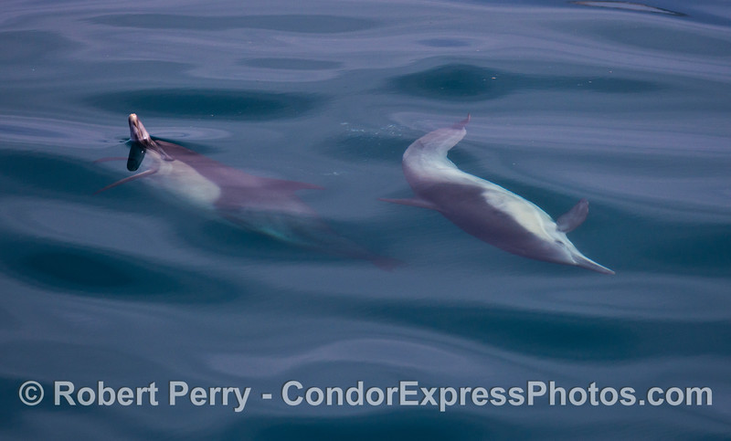 Two common dolphins are captured by the camera while interacting.