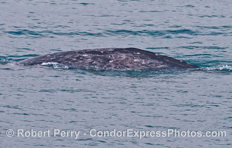 Gray whales can be individually identified by the coloration patterns along their flanks.