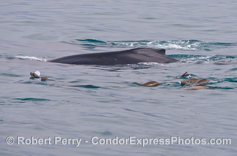 A mob of California sea lions pesters a humpback whale.