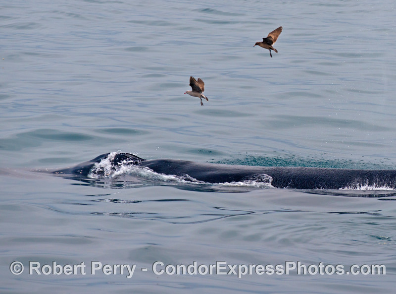 Two Heermann's gulls hover above a feeding humpback whale in hopes of finding left over anchovies.