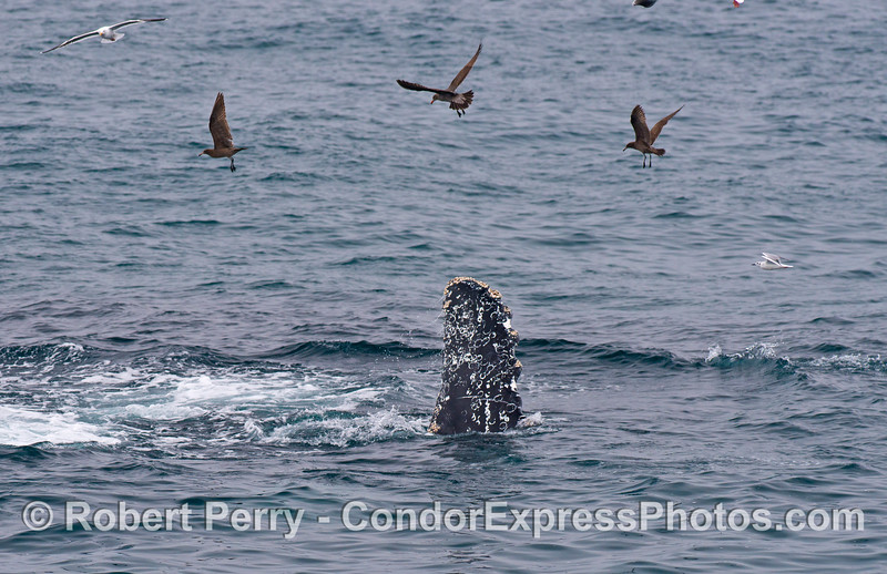Gulls circle overhead as a humpback whale rolls over after lunge feeding on a school of northern anchovies.  The tip of the pectoral flipper of the humpback can be seen out of the water.