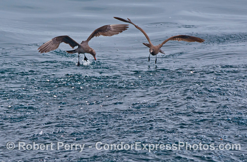 Two Heermann's gulls try to pick off anchovies as a bait ball on the surface sends the little silvery fish jumping.