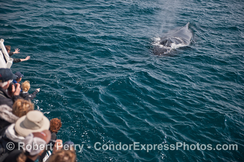 Another friendly humpback whale comes over to say hello.