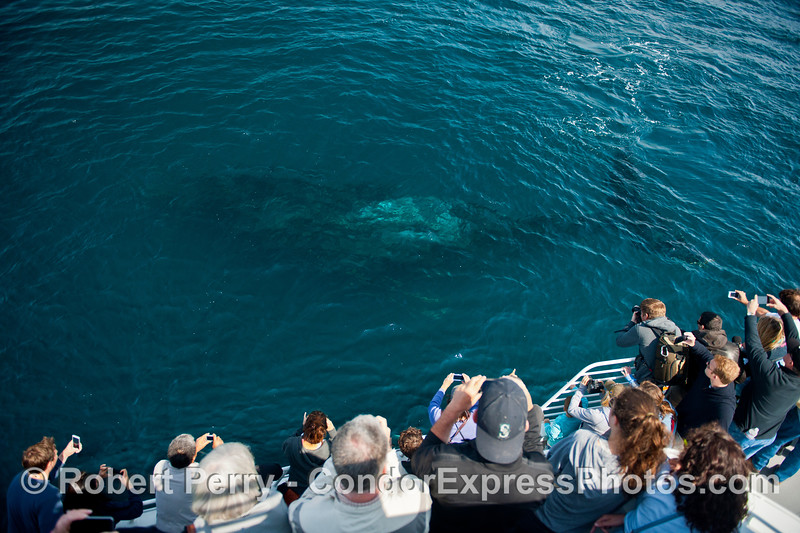 The entire humpback whale is seen here about 10 or 15 feet below the surface and swimming alongside the Condor Express.