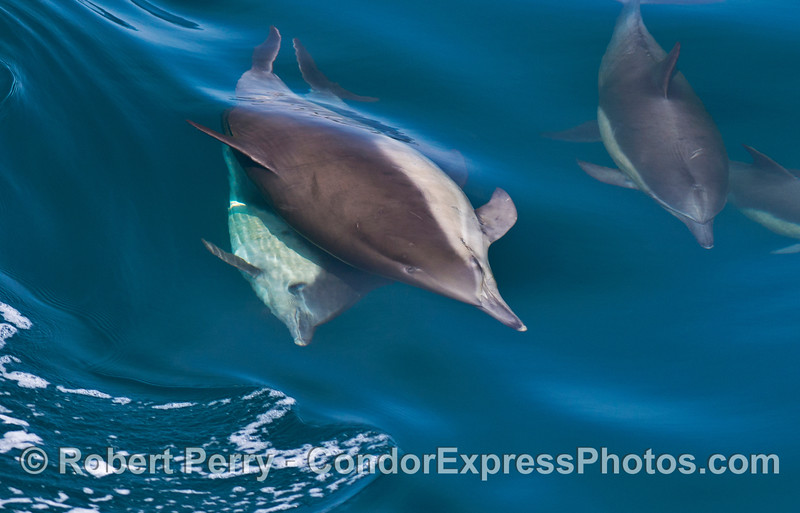 More dolphin criss cross interactions.