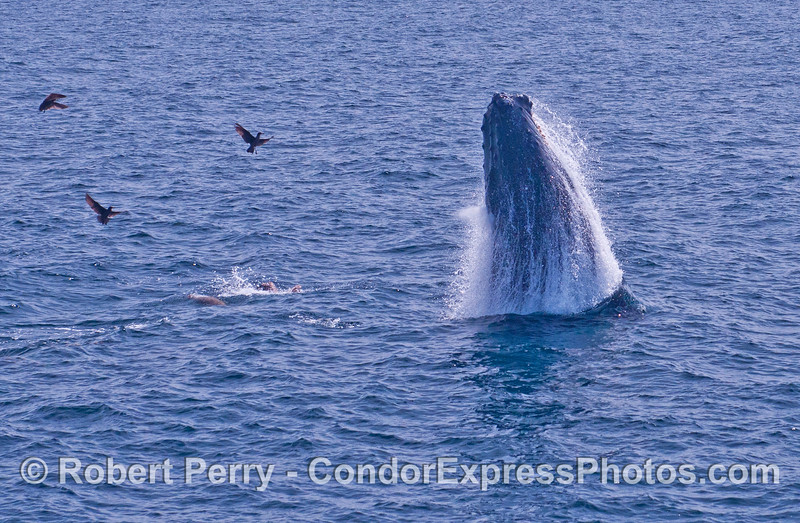 Image 2 - Humpback whale breach sequence.  A humpback whale launches itself as sea lions and Heermann's gulls scatter.