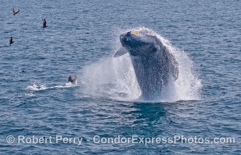 Image 2 - Humpback whale breach sequence.