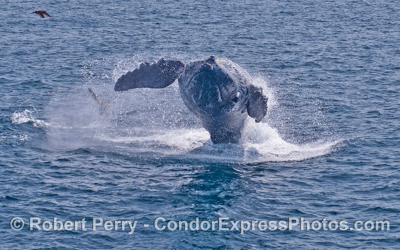 Image 3 - Humpback whale breach sequence.  This whale is upside down and almost completely out of the water.