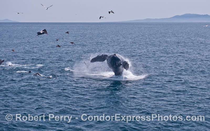 Wide angle view of a breaching humpback whale.  Anacapa (left) and Santa Cruz (right) Islands are visible in the back.