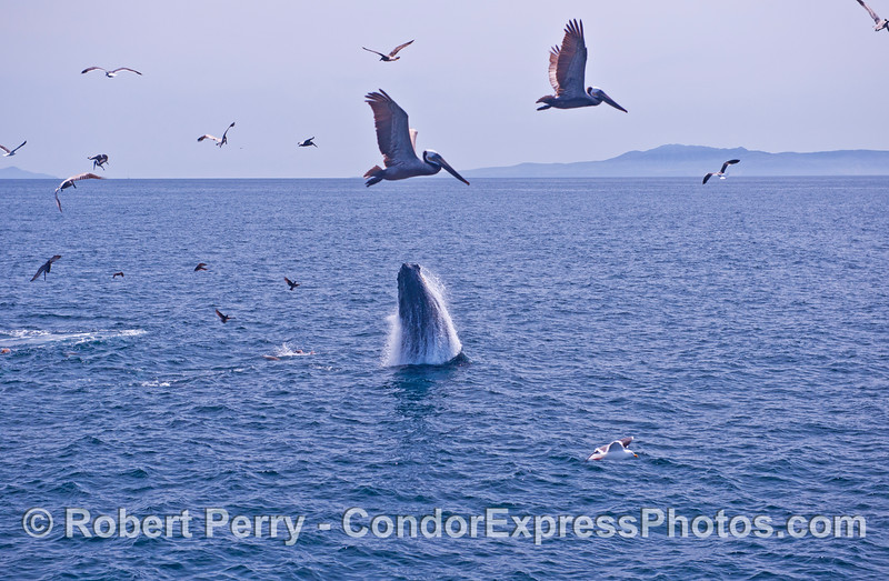Humpback breach - wide angle with brown pelicans flying by.
