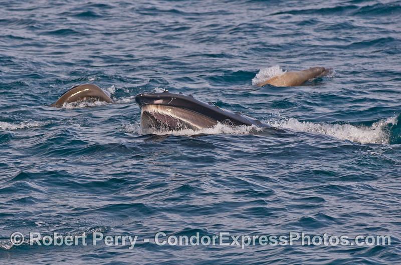 Humpback baleen and sea lions.