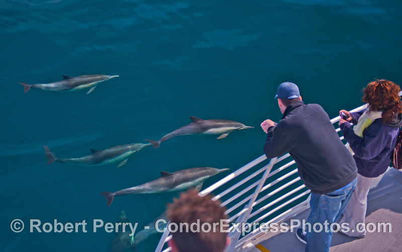 An armada of friendly long beaked common dolphins.