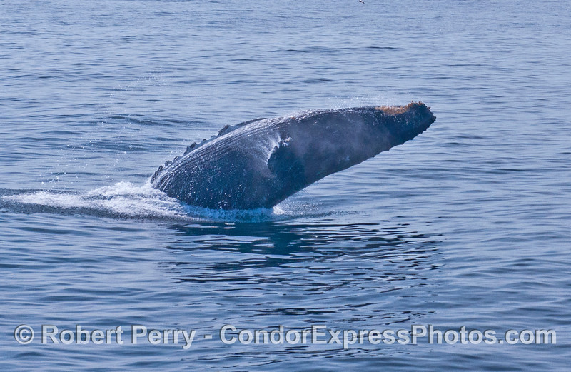 Humpback whale breach - side view.