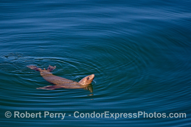 A young California sea lions in blue water.