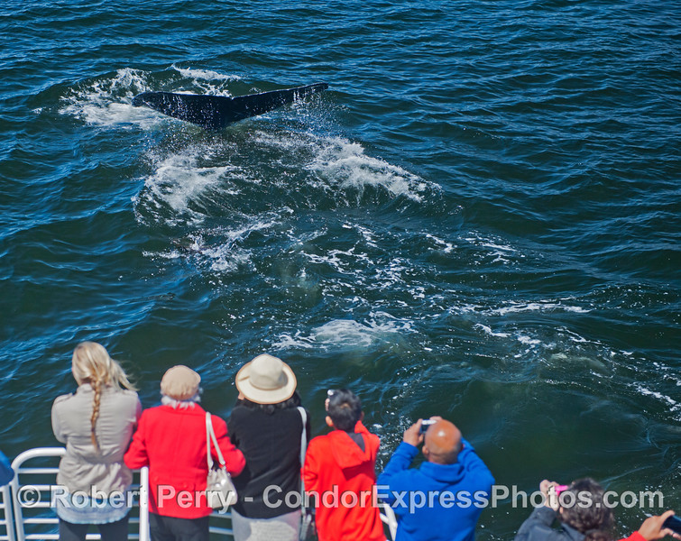 A humpback swam up alongside the Condor Express and surfaced within a few feet of the humans. and then showed its tail flukes.