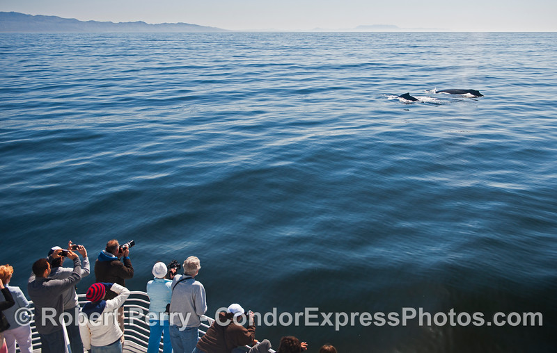 Photographers take advantage of 2 friendly humpback whales with very calm seas.