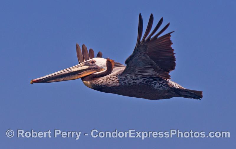 A brown pelican soars alongside the Condor Express.