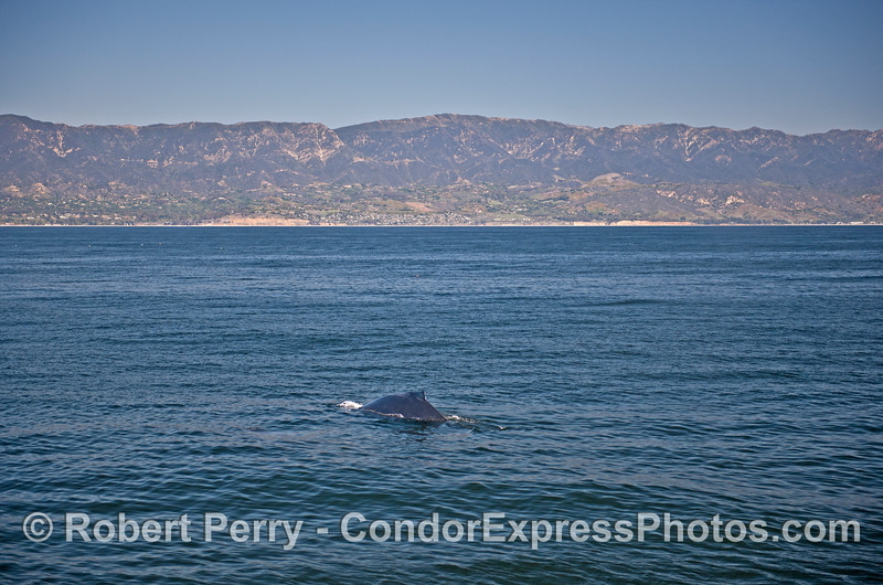 A humpback whale with the Santa Barbara coastline in back.