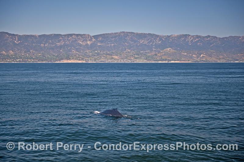 A humpback whale with the Santa Barbara coastline in back.