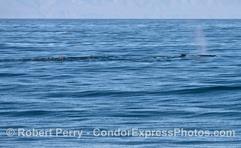 A humpback whale is seen with a mob of California sea lions following behind.