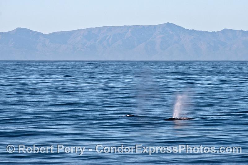 Two humpback whales with Santa Cruz Island in back.