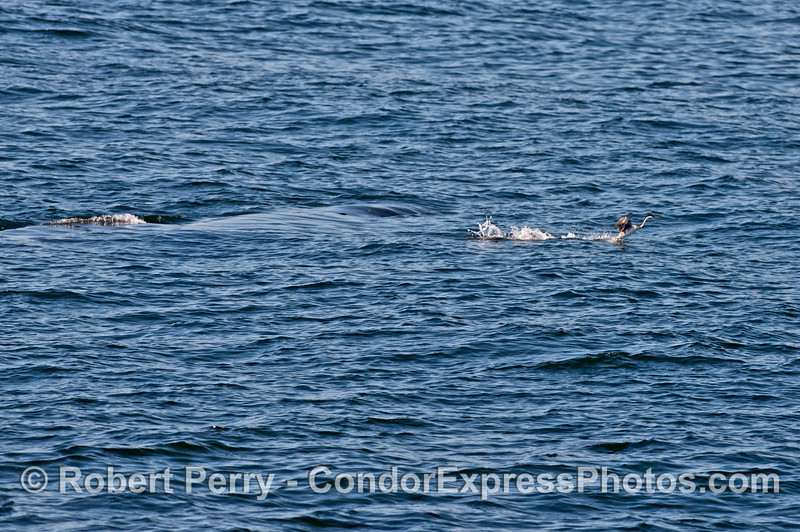 A surfacing humpback whale sends a western grebe fleeing at top speed.