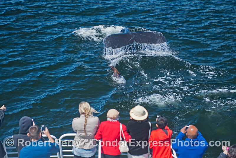 A humpback swam up alongside the Condor Express and surfaced within a few feet of the humans.  A fearless California sea lion gets into the act.