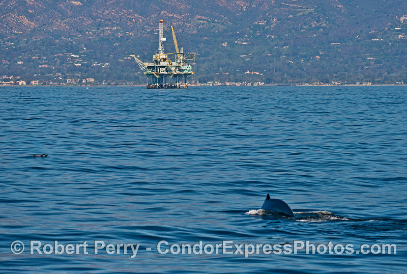 Humpback, offshore oil platform and (left bottom) a rafting sea lion.