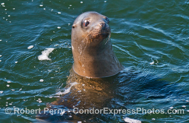 A curious California sea lion takes a look at the humans.