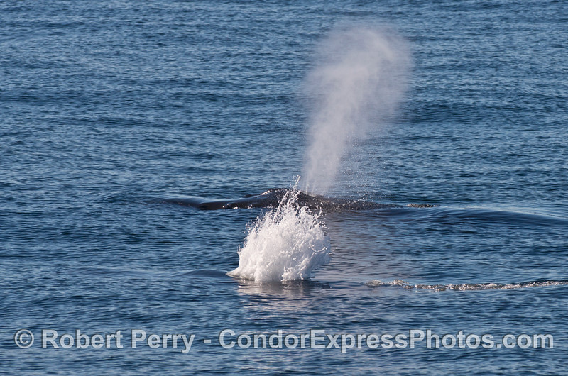 "Two humpback whale spouts:  the closest whale is ""Rope."""