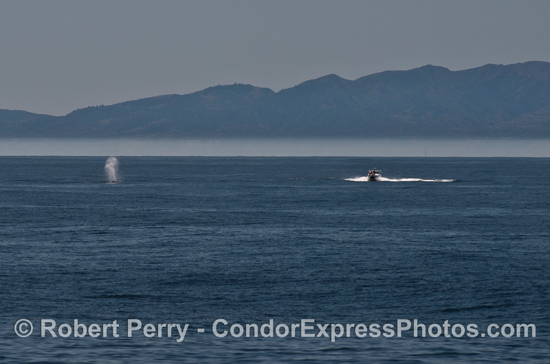 A small boat comes within a dozen yards of two humpback whales.  Boaters:  please slow down in the whale zone.