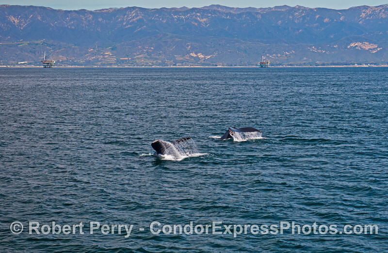 Two humpback whales fluke-up simultaneously with the Santa Ynez mountains in the back.